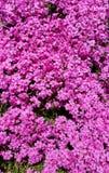 Vax-myrten rosa färgrabatt arkivfoton