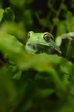 Vaxartad apagroda (phyllomedusasauvagiien) Royaltyfri Fotografi