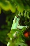 Vaxartad apagroda (phyllomedusasauvagiien) Fotografering för Bildbyråer