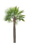 Vaxet gömma i handflatan palmträdet (för Coperniciaalbum). Royaltyfri Foto