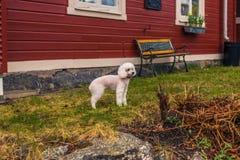 Vaxholm, Kwiecień - 07, 2017: Pies w Vaxholm, Szwecja Zdjęcia Stock