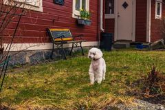 Vaxholm, Kwiecień - 07, 2017: Pies w Vaxholm, Szwecja Fotografia Stock