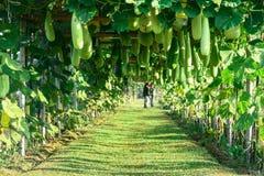 Vaxkalebass i grönsakträdgård Fotografering för Bildbyråer