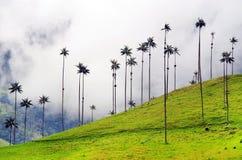 Vaxpalmträden från den Cocora dalen är det nationella trädet, symbolet av Colombia, och den största World'sen gömma i handflata royaltyfria bilder
