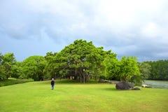 Vaya al árbol grande Imagen de archivo