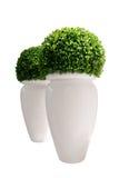 Vazen met buxus die op witte achtergrond wordt geïsoleerdr Royalty-vrije Stock Foto's