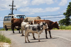 Veículo de estrada África do gado Imagens de Stock Royalty Free