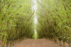 Vea abajo de una trayectoria a través de una huerta verde de la avellana Fotos de archivo libres de regalías