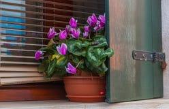 Vea al ciclamen púrpura la maceta en ventana Imagen de archivo libre de regalías