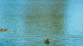 Vea de abajo hacia arriba, el lago con una multitud de patos, madera en la playa, cielo azul almacen de video