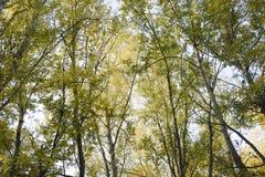 Vea de abajo hacia arriba en un bosque de los álamos de plata Fondo del cielo y de los árboles Otoño en el bosque Foto de archivo