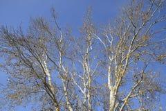 Vea de abajo hacia arriba en un bosque de los álamos de plata Fondo del cielo y de los árboles Otoño en el bosque Fotografía de archivo