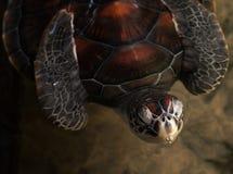 Vea la tortuga Foto de archivo
