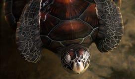 Vea la tortuga Fotos de archivo libres de regalías