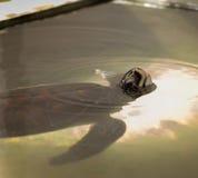 Vea la tortuga Fotografía de archivo libre de regalías