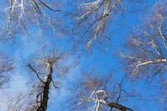Vea mirar para arriba las ramas del abedul y el cielo azul en día de invierno Imagen de archivo