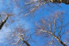 Vea mirar para arriba las ramas del abedul y el cielo azul en día de invierno Imagen de archivo libre de regalías