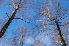 Vea mirar para arriba las ramas del abedul y el cielo azul en día de invierno Foto de archivo libre de regalías