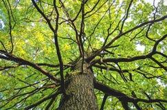 Vea para arriba de parte inferior de un árbol de arce del lagre con follaje fotos de archivo libres de regalías