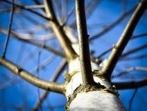 Vea para arriba para arriba en un abedul del árbol Imagen de archivo