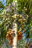 Vea Sylvatica palm (Areca catechu) Royalty Free Stock Photography