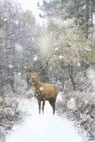 Veado bonito dos veados vermelhos na paisagem festiva coberto de neve da floresta do inverno da estação na tempestade das nevadas imagens de stock