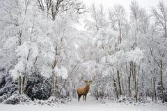 Veado bonito dos veados vermelhos no inverno festivo coberto de neve FO da estação fotografia de stock