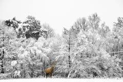 Veado bonito dos veados vermelhos no inverno festivo coberto de neve FO da estação foto de stock
