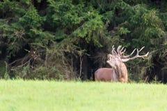 Veado dos cervos de Belling com os chifres grandes no outono Cervus Elaphus Habitat natural Imagem de Stock Royalty Free
