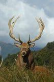 Veado dos cervos vermelhos Imagem de Stock Royalty Free