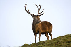 Veado dos cervos vermelhos Fotos de Stock