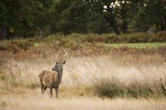 Veado dos cervos vermelhos durante a estação da rotina Imagens de Stock