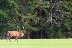 Veado dos veados vermelhos com os chifres grandes contra o Cervus verde Elaphus da floresta Habitat natural Fotos de Stock Royalty Free