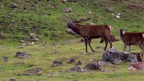 Veado dos veados vermelhos, elaphus do Cervus, durante o cio com seu harém dentro dos quartzos defumados NP, scotland filme