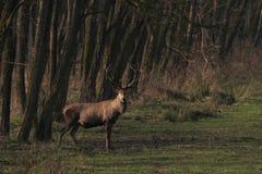 Veado dos veados vermelhos na floresta fotografia de stock royalty free
