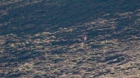 Veado real dos veados vermelhos, elaphus do cervus, andando acima da inclinação para o harém durante o cio nos quartzos defumados video estoque