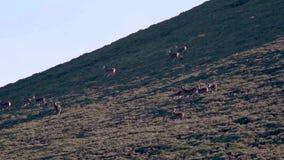 Veado real dos veados vermelhos, elaphus do cervus, perseguindo hinds, harém durante no cio sazonal, quartzos defumados NP, scotl filme