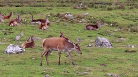 Veados vermelhos, elaphus do cervus, alimentação traseiro, fêmea e passeio durante a rotina no outono quartzo defumado NP, scotla filme