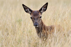 Veados vermelhos, elaphus do Cervus, bambi Fotografia de Stock Royalty Free