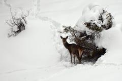 Veados vermelhos fêmeas no inverno duro imagens de stock royalty free