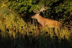Veados vermelhos grandes e bonitos durante a rotina dos cervos no habitat da natureza em República Checa Fotos de Stock