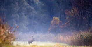 Veados vermelhos na floresta Fotos de Stock