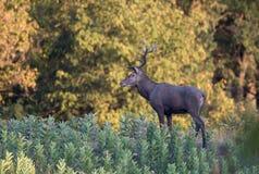 Veados vermelhos na floresta Fotografia de Stock Royalty Free