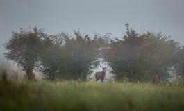 Veados vermelhos na manhã nevoenta Imagens de Stock