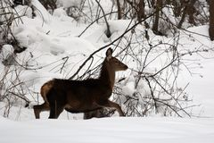 Veados vermelhos novos na neve Imagens de Stock