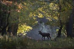 Veados vermelhos que andam na floresta Fotos de Stock Royalty Free