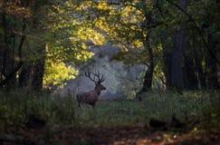 Veados vermelhos que andam na floresta Fotografia de Stock Royalty Free