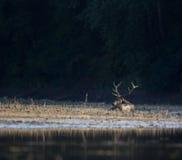 Veados vermelhos que encontram-se na costa do rio Fotos de Stock Royalty Free