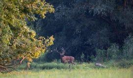 Veados vermelhos que estão na floresta Foto de Stock Royalty Free