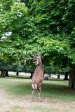 Veados vermelhos que levantam-se em dois pés que comem da árvore Imagem de Stock Royalty Free